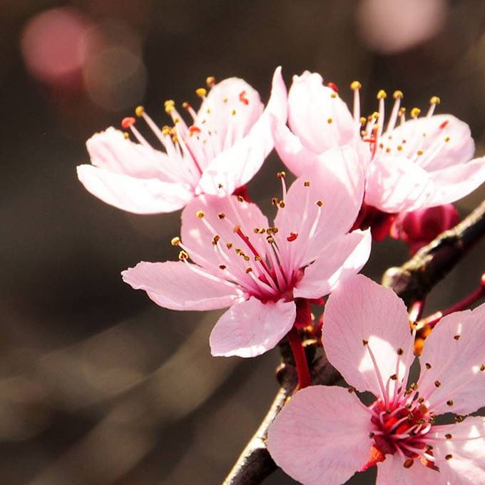 cherry-blossom-close-up