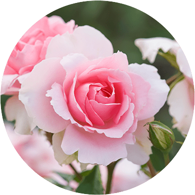 NIVEA DEO Fresh Rose Touch
